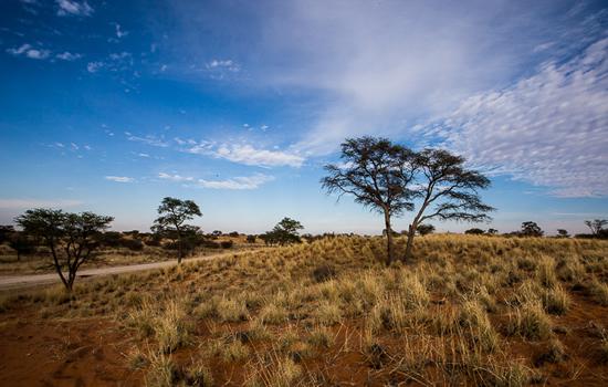 Kameelboomkoelte-Kalahari-18